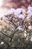 Sluit omhoog van magnoliabloemen Stock Afbeeldingen