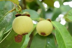 Sluit omhoog van mangostan in een boom De mangostan is één van de populaire, exotische tropische vruchten Zijn sappig, sneeuwwit, royalty-vrije stock afbeelding