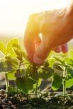 Sluit omhoog van mannelijke landbouwershand onderzoekend het blad van de sojabooninstallatie stock afbeelding