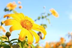 Sluit omhoog van maxican zonnebloem Royalty-vrije Stock Afbeelding