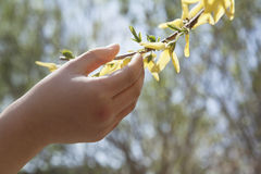 Sluit omhoog van meisjeshand wat betreft een gele bloesem op een boom, in openlucht in het park in de lente Royalty-vrije Stock Foto