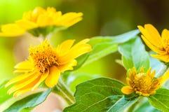 Sluit omhoog van melampodiumdivaricatum, botermadeliefje of weinig gele ster, bloem Royalty-vrije Stock Fotografie