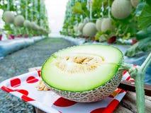 Sluit omhoog van meloen in de tuin Royalty-vrije Stock Fotografie