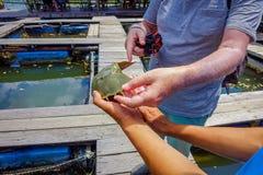 Sluit omhoog van mensenhand houdend hoefijzerkrabben in de landbouwbedrijven van Krabi townfish in zuidelijk Thailand royalty-vrije stock foto's