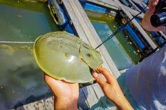 Sluit omhoog van mensenhand houdend hoefijzerkrabben in de landbouwbedrijven van Krabi townfish in zuidelijk Thailand royalty-vrije stock afbeeldingen