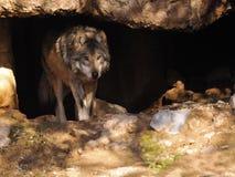 Sluit omhoog van Mexicaans Grey Wolf in Hol royalty-vrije stock afbeeldingen