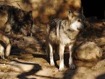 Sluit omhoog van Mexicaans Grey Wolf Pair met monochromatische achtergrond royalty-vrije stock afbeeldingen