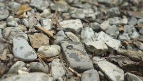Sluit omhoog van mier op bank van bergrivier met grote keien en groen mos in wildernis natuurreservaat in bergen Reis stock footage