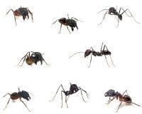 Sluit omhoog van mieren die op wit worden geïsoleerdi. royalty-vrije stock afbeeldingen