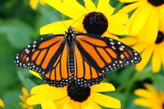 Sluit omhoog van Monarch op bruin-Eyed Susan met geopende vleugels royalty-vrije stock fotografie