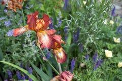 Sluit omhoog van mooi brons en amber gekleurde die irisbloem tegen groen gebladerte wordt gefotografeerd royalty-vrije stock foto's