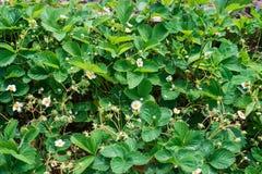 Sluit omhoog van mooie aardbeibloemen Stock Foto