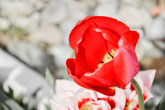 Sluit omhoog van mooie bloeiende rode tulpen in de tuin in de lente Kleurrijke de lenteachtergrond Zonnige dag Stock Fotografie
