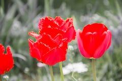 Sluit omhoog van mooie bloeiende rode tulpen in de tuin in de lente Kleurrijke de lenteachtergrond Zonnige dag Stock Foto
