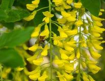 Sluit omhoog van mooie en tedere gele acaciabloemen royalty-vrije stock fotografie