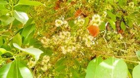 Sluit omhoog van mooie Eugenia, djamboevruchtbloemen royalty-vrije stock foto