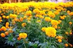 Sluit omhoog van mooie Goudsbloembloem in de tuin Royalty-vrije Stock Afbeelding