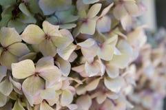 Sluit omhoog van mooie lichtgele hydrangea hortensiabloesem met purpere bloemblaadjes Stock Fotografie