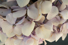Sluit omhoog van mooie lichtpaarse hydrangea hortensiabloesem Royalty-vrije Stock Fotografie