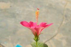 Sluit omhoog van mooie melkachtige roze hibiscusbloem in een tuin royalty-vrije stock afbeeldingen