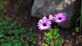 Sluit omhoog van mooie purpere chrysantenbloem met groene achtergrond stock footage