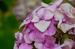 Sluit omhoog van mooie purpere hydrangea hortensia Stock Afbeeldingen