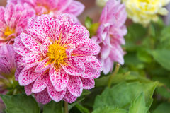 Sluit omhoog van mooie roze bloemen Royalty-vrije Stock Fotografie