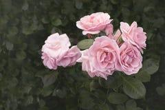 Sluit omhoog van Mooie rozen Royalty-vrije Stock Foto's