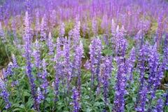 Sluit omhoog van mooie violette lavendelbloemen in de tuin Royalty-vrije Stock Foto's