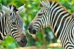 Sluit omhoog van mooie zebras Royalty-vrije Stock Foto's