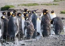 Sluit omhoog van Moulting Koning Penguins royalty-vrije stock foto