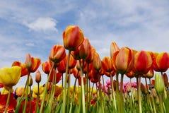 Sluit omhoog van multicolored tulpen met een hemelachtergrond Royalty-vrije Stock Afbeelding