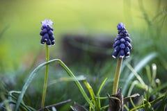 Sluit omhoog van Muscari-bloem tegen onscherpe dromerige achtergrond royalty-vrije stock afbeeldingen