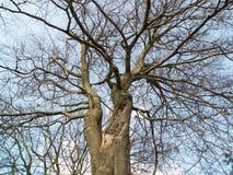 Sluit omhoog van naakte boomtakken zonder bladeren in tuin Royalty-vrije Stock Fotografie