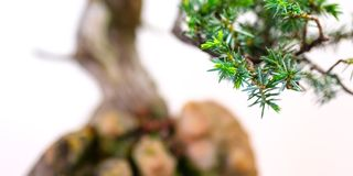 Sluit omhoog van naalden van een boom van de jeneverbessenbonsai Royalty-vrije Stock Afbeeldingen