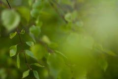 Sluit omhoog van natuurlijke groene bladeren Mooie Boomachtergrond royalty-vrije stock fotografie