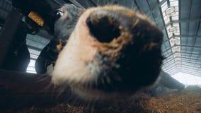 Sluit omhoog van neb van de koe terwijl andere koeien eten