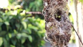 Sluit omhoog van olijf-Gesteunde Sunbird-familie; babyvogel in een vogelnest die op boomtak het wachten voedsel van moeder hangen stock video