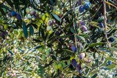 Sluit omhoog van olijven in een olijfgaard in Kerameikos, de oude begraafplaats van Athene Griekenland Stock Afbeeldingen