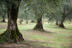 Sluit omhoog van Olive Trees in Italië Royalty-vrije Stock Afbeelding