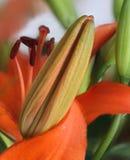Sluit omhoog van oranje lelieknop Stock Afbeelding