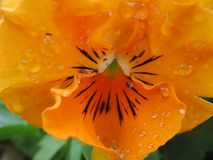 Sluit omhoog van oranje viooltje Stock Foto's
