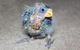 Sluit omhoog van ouderloze baby Australische Rosella Royalty-vrije Stock Afbeeldingen
