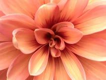 Sluit omhoog van Perzik Roze Dahlia Flower Center Stock Foto's