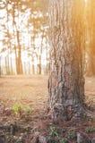 Sluit omhoog van pijnboom met zonsondergang op pijnboom bosachtergrond Stock Fotografie
