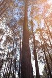 Sluit omhoog van pijnboom met zonsondergang op pijnboombos Stock Foto's