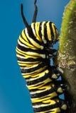 Sluit omhoog van plexippusrupsband van Danaus van de monarchvlinder Stock Foto's
