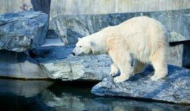Sluit omhoog van polarbear icebear in gevangenschap stock afbeelding