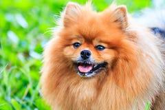 Sluit omhoog van Pomeranian-hond Royalty-vrije Stock Foto's