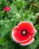 Sluit omhoog van Poppy Flowers Papaver-rhoeas Stock Afbeelding